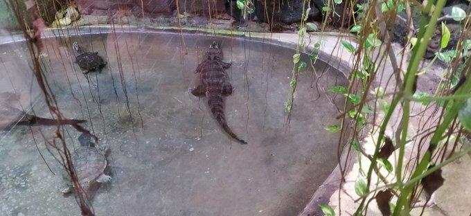 Es wird ein Alligator am Rand eines mit wenig Wasser befüllten Beckens gezeigt. Im linken Bildrand ist eine Schildkröte. Um das Becken herum sind ein paar Pflanzen zu sehen. Es ist künstlich angelegt, keine freie Natur.