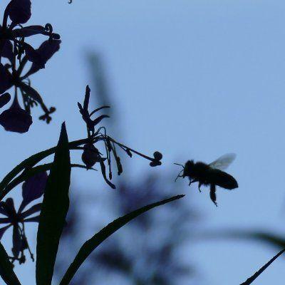 Der Schatten einer Blume und einer Biene davor in der Luft. Im Hintergrund blauer Himmel.