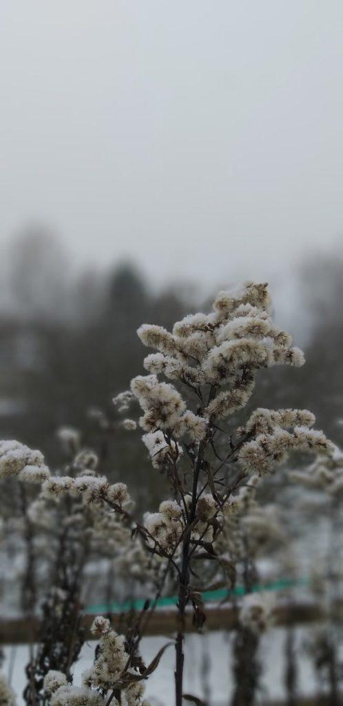 Pflanze mit Frostschnee vor grauen Himmel.