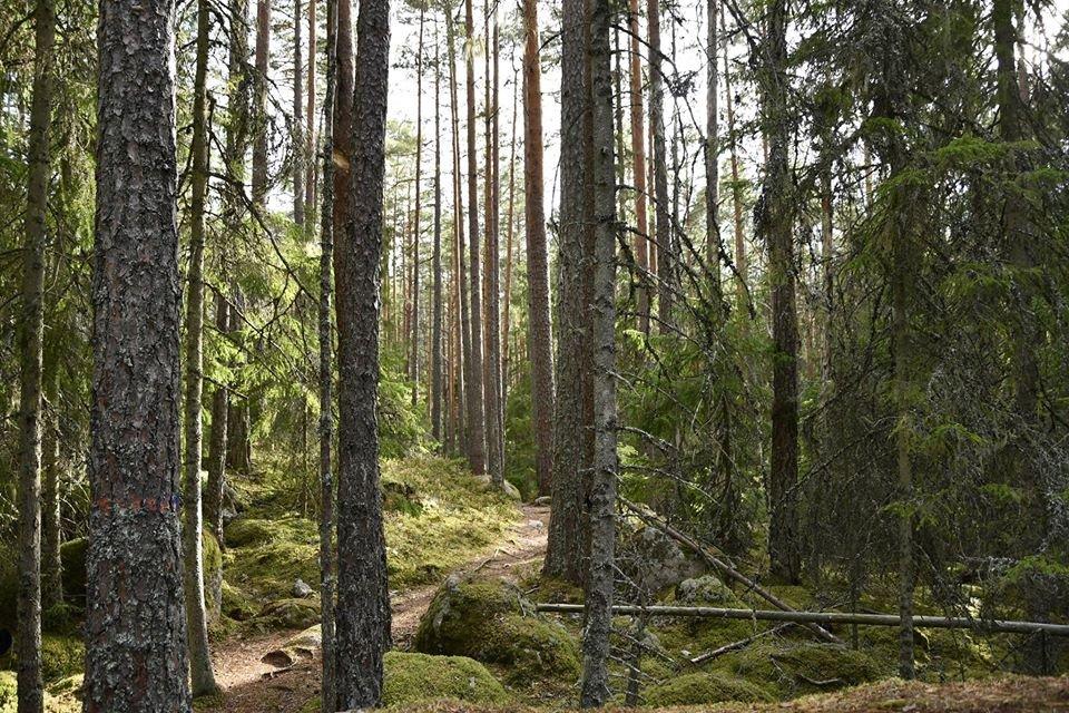 Viele Bäume im Wald.