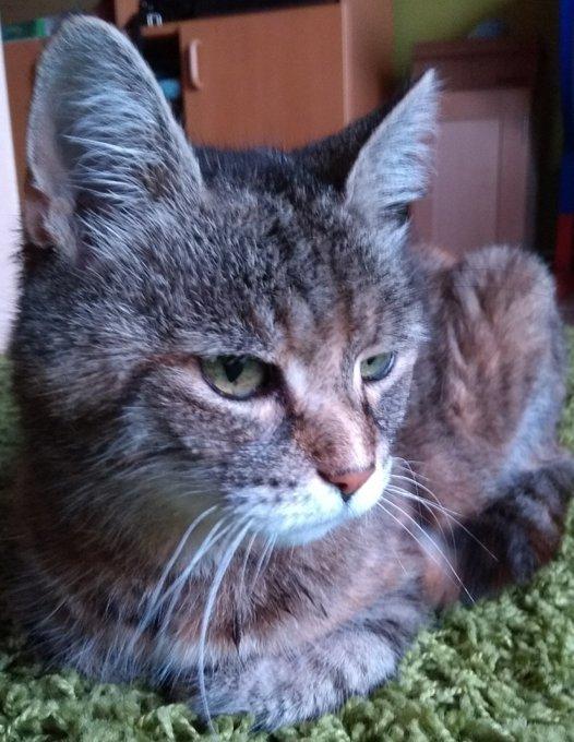 Nahaufnahme: Eine grau-getigerte Katze liegt auf einem Teppich